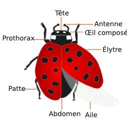 Anatomie de la coccinelle. Source : http://data.abuledu.org/URI/52bc152d-anatomie-de-la-coccinelle