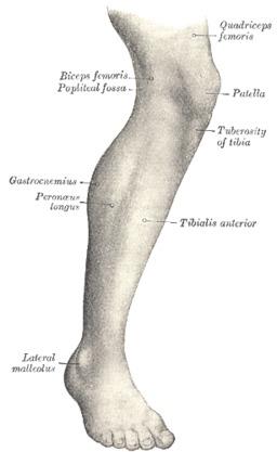 Anatomie de la jambe. Source : http://data.abuledu.org/URI/501bc2d1-anatomie-de-la-jambe