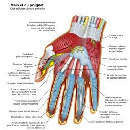 Anatomie de la main. Source : http://data.abuledu.org/URI/52cf1d1b-anatomie-de-la-main