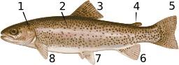 Anatomie des salmonidés. Source : http://data.abuledu.org/URI/53af28da-anatomie-des-salmonides