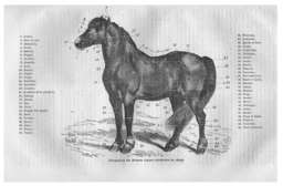 Anatomie du cheval. Source : http://data.abuledu.org/URI/52e120c5-anatomie-du-cheval