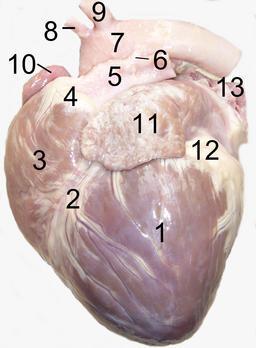 Anatomie du coeur de chien. Source : http://data.abuledu.org/URI/5330a24c-anatomie-du-coeur-de-chien