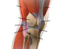 Anatomie du genou humain. Source : http://data.abuledu.org/URI/534d8e96-anatomie-du-genou-humain