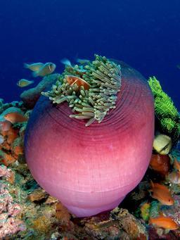 Anémone. Source : http://data.abuledu.org/URI/510bec0d-anemone-