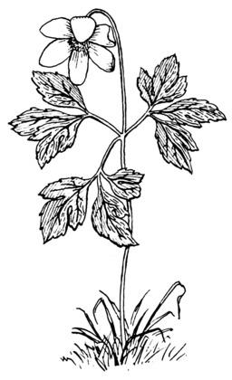 Anémone. Source : http://data.abuledu.org/URI/53eb9a79-anemone