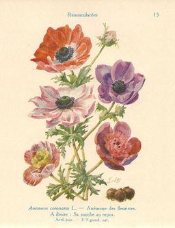 Anémones coronaires de jardin. Source : http://data.abuledu.org/URI/53ad1f49-anemone-coronaire