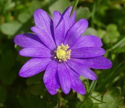 Anémone de Grèce. Source : http://data.abuledu.org/URI/54de6984-anemone-de-grece