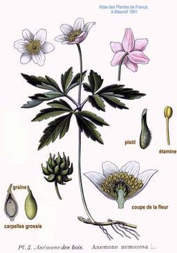 Anémone des bois. Source : http://data.abuledu.org/URI/509709e8-anemone-des-bois