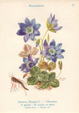 Anémone hépatique. Source : http://data.abuledu.org/URI/53ad7a02-anemone-hepatique
