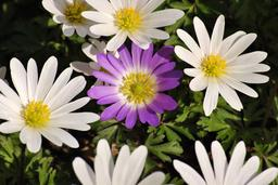 Anémones blanches. Source : http://data.abuledu.org/URI/535699c3-anemones-blanches