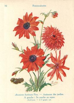 Anémones de jardin. Source : http://data.abuledu.org/URI/53ad1fd1-anemones-de-jardin