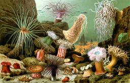 Anémones de mer. Source : http://data.abuledu.org/URI/52b0b481-anemones-de-mer