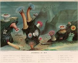 Anémones de mer en 1866. Source : http://data.abuledu.org/URI/5944919c--anemones-de-mer-en-1866