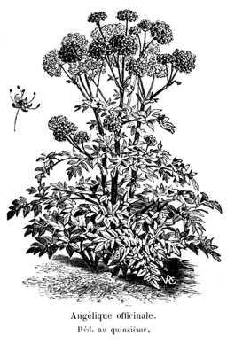 Angélique officinale. Source : http://data.abuledu.org/URI/544d4098-angelique-officinale