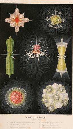 Animaux radiés foraminifères en 1866. Source : http://data.abuledu.org/URI/59447cec-animaux-radies-foraminiferes-en-1866