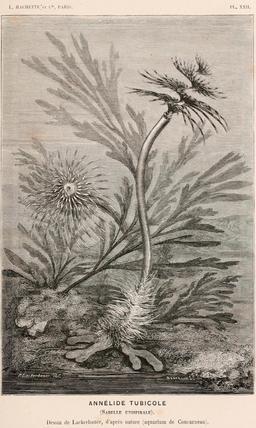 Annélide tubicole en 1866. Source : http://data.abuledu.org/URI/59453890-annelide-tubicole-en-1866