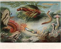 Annélides en 1866. Source : http://data.abuledu.org/URI/59453783-annelides-en-1866