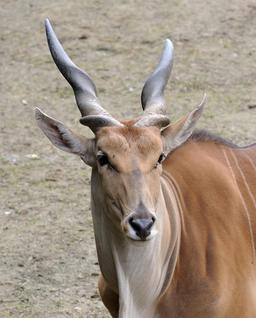 Antilope d'Afrique. Source : http://data.abuledu.org/URI/5072b783-antilope-d-afrique