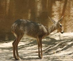 Antilope Péléa. Source : http://data.abuledu.org/URI/516d4296-antilope-pelea