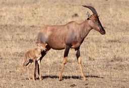 Antilope topi au Kenya. Source : http://data.abuledu.org/URI/52d197f1-antilope-topi-au-kenya