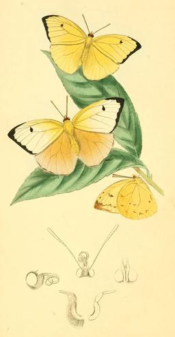 Aphrissa statira. Source : http://data.abuledu.org/URI/52bee29c-aphrissa-statira
