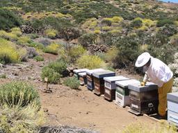 Apiculteur au travail à Ténérife. Source : http://data.abuledu.org/URI/52d1926a-apiculteur-au-travail-a-tenerife
