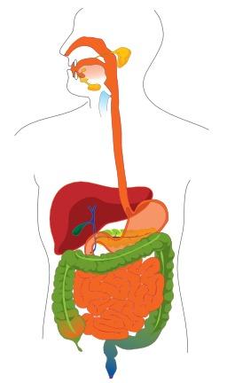 Appareil digestif de l'homme. Source : http://data.abuledu.org/URI/50df4597-appareil-digestif-de-l-homme