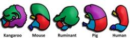 Appareil digestif des mammifères. Source : http://data.abuledu.org/URI/5043dc0f-appareil-digestif-des-mammiferes