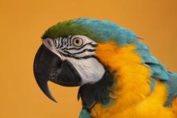 Ara bleu et jaune. Source : http://data.abuledu.org/URI/52d1649b-ara-bleu-et-jaune