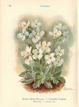 Arabette des Alpes. Source : http://data.abuledu.org/URI/53ad26cb-arabette-des-alpes