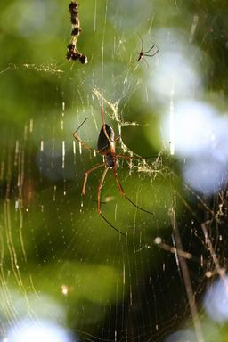 Araignée. Source : http://data.abuledu.org/URI/5061d2bc-araignee