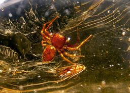 Araignée dans du copal de Madagascar. Source : http://data.abuledu.org/URI/52d1d5ca-araignee-dans-du-copal-de-madagascar