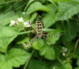 Araignée frelon. Source : http://data.abuledu.org/URI/588cc3ec-araignee-frelon