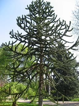 Araucaria au Bois de Boulogne. Source : http://data.abuledu.org/URI/53943364-araucaria-au-bois-de-boulogne