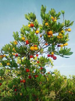 Arbousier en automne. Source : http://data.abuledu.org/URI/518b596c-arbousier-en-automne
