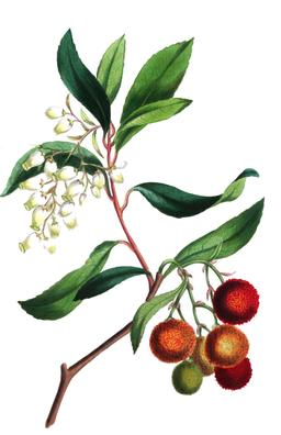 Arbousier en fleurs et en fruits en 1836. Source : http://data.abuledu.org/URI/53ed078a-arbousier-en-fleurs-et-en-fruits-en-1836