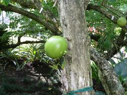 Arbre à calebasses. Source : http://data.abuledu.org/URI/538117d5-arbre-a-calebasses