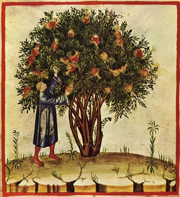 Arbre fruitier, grenadier. Source : http://data.abuledu.org/URI/50c86fcc-arbre-fruitier-grenadier