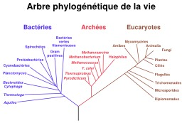 Arbre Phylogénétique de la vie. Source : http://data.abuledu.org/URI/51afaa95-arbre-phylogenetique-de-la-vie