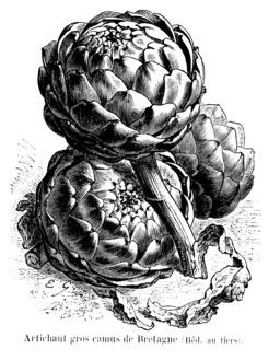 Artichaut gros camus de Bretagne. Source : http://data.abuledu.org/URI/544ea818-artichaut-gros-camus-de-bretagne