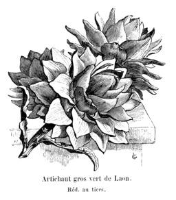 Artichaut gros vert de Laon. Source : http://data.abuledu.org/URI/544ea85a-artichaut-gros-vert-de-laon
