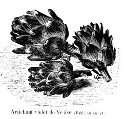 Artichaut violet de Venise. Source : http://data.abuledu.org/URI/544ea8fd-artichaut-violet-de-venise