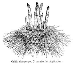 Asperges, septième année de végétation. Source : http://data.abuledu.org/URI/544ea9b4-asperges-septieme-annee-de-vegetation