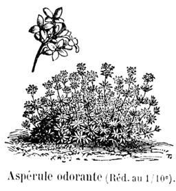 Aspérule odorante. Source : http://data.abuledu.org/URI/544eaa49-asperule-odorante