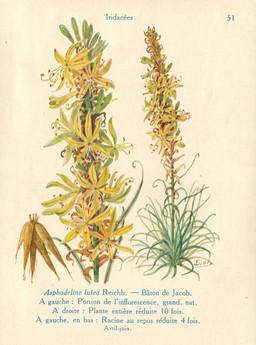 Asphodeline de jardin. Source : http://data.abuledu.org/URI/53ad2db7-asphodeline-de-jardin