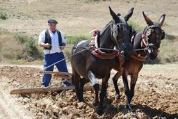 Attelage de mules. Source : http://data.abuledu.org/URI/517e3a22-attelage-de-mules