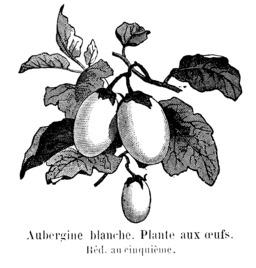 Aubergine blanche. Source : http://data.abuledu.org/URI/544eab7d-aubergine-blanche