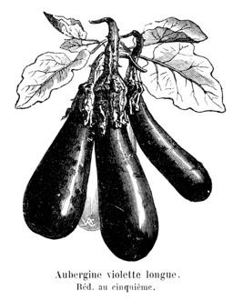 Aubergine violette longue. Source : http://data.abuledu.org/URI/544f18f1-aubergine-violette-longue