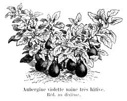 Aubergine violette naine très hâtive. Source : http://data.abuledu.org/URI/544f1931-aubergine-violette-naine-tres-hative