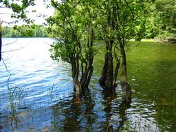 Aulnes dans un lac polonais. Source : http://data.abuledu.org/URI/513a08ce-aulnes-dans-un-lac-polonais